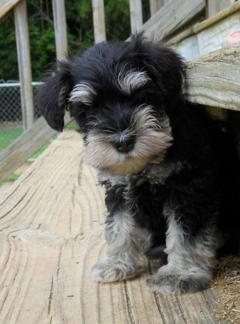 ✨Aww this little mini schnauzer puppy is just so adorable✨✨