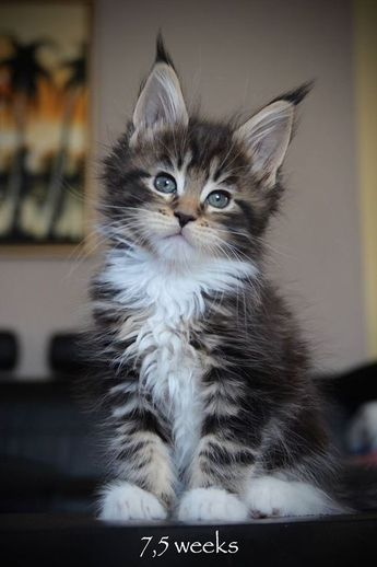 7 Fun Facts About Maine Coon Cats... 🐱