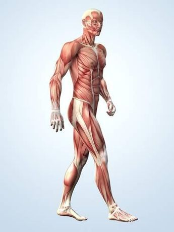 3dtotal Anatomy: male full ecorche figure