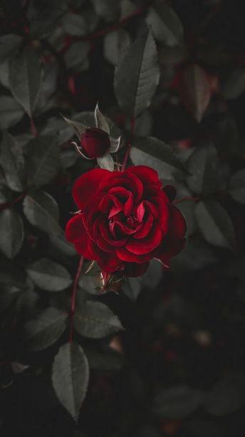 Download 530+ Wallpaper Rose Hitam Gratis Terbaru