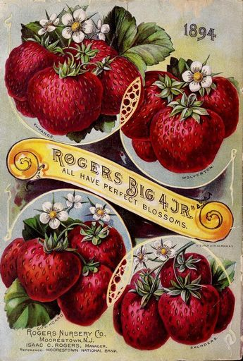 """Back cover of Rogers Nursery Co (1894) catalogue with an illustration of Rogers Big 4 """"Jr"""" strawberries and blossom (Enhance, Wolverton, Gov. Hoard & Saunders) - 'All have perfect blossoms.' Rogers..."""