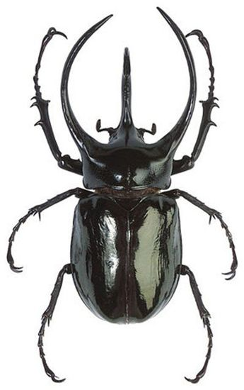 OVERSTOCK: Giant Scarab Beetles, Chalcosoma atlas or chiron  Real
