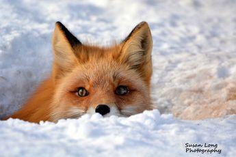 Alaska   Cautious Red Fox