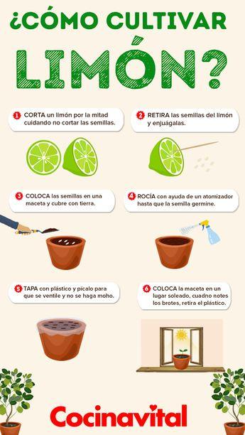 Cómo cultivar una planta de limones o limonero en maceta