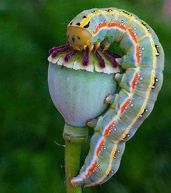Caterpillar Absolem feasting on Opium poppy