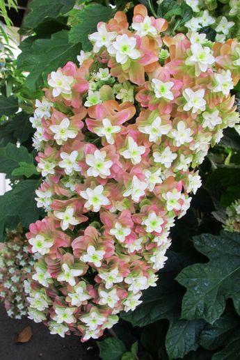Looks beautiful near Radrazz and Neon Red roses. Hydrangea quercifolia 'Snowflake'