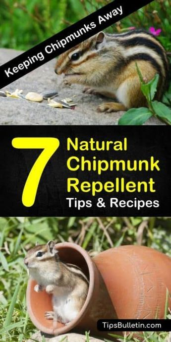 Keeping Chipmunks Away - 7 Natural Chipmunk Repellent Tips and Recipes