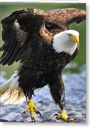 Hopping Eagle Canvas Print / Canvas Art by Sasse Photo
