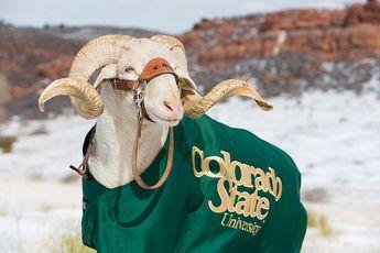 Colorado State University's Mascot Cam the Ram