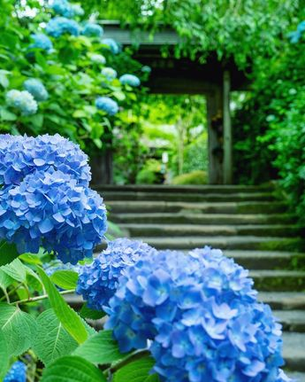 Reiko SatoさんはInstagramを利用しています:「. . . @tv_asia 様、@team_jp 様、@ip_blossoms 様に フィーチャーしていただきました。 Featured by @tv_asia @team_jp and @ip_blossoms . . . 紫陽花寺。 . . Temple of…」