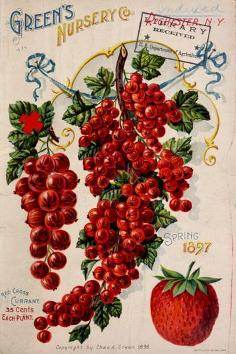 Green's Nursery  1897 featuring Currants and a Strawberry. Very Colorful!