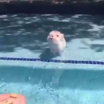 Piggy loves water