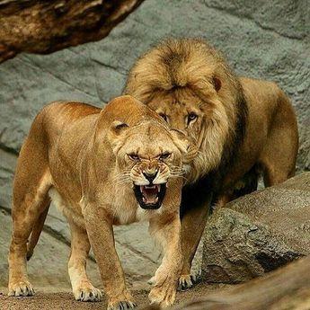 Roarrr! ❤️ It is my ❤️ Photo by ©Michael Breucker #WildlifeFriend