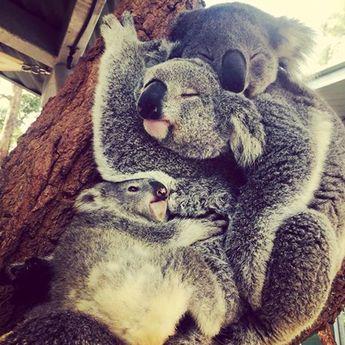 Who said three's a crowd? @koberekar (Instagram) caught Milli, Sydney and new joey TJ cuddling up together at Koala Encounters.