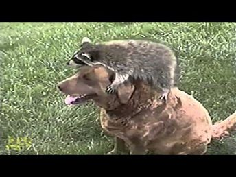 Orphaned Baby Raccoon Is Taken In By Dogs - 2 Yrs Later - AFV - YouTube