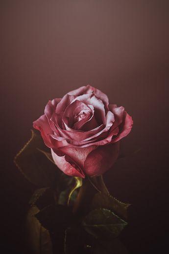 my valentine rose by CliffWFotografie.deviantart.com on @DeviantArt