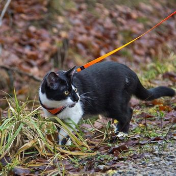 How to walk your cat? Ever seen a cat out walking on a leash? Most people who have seen one react with astonishment that a cat would be domesticated enough to willingly allow itself to be tethered to a leash and guided around by -- of all things! -- a human companion. But it can and does happen. After all why should dogs have all the fun? Everyone knows cats like the outdoors too. Shouldnt they get the opportunity to explore the great outdoors along with the rest of us? Shouldnt they be allowed to maintain their youthful figures with some regular exercise? Learning how to walk a cat may seem impossible but with proper supervision patience and consistency you too can train your cat to walk on a leash. DOES AGE MATTER? Once a cat has reached the age when she has been fully vaccinated it is safe for her to go on walks outside. Remember that this is not so much to protect other animals from what she might be carrying but to protect her from what they might be carrying. It is best to start as early as possible before your cat has developed a fear of the outdoors or a fear of unusual noises. Older cats are often more reluctant to go outside on a leash -- or to be on a leash at all. SELECTING THE PROPER HARNESS Because cats are so agile a simple collar around the neck is not enough to hold them while walking outside -- they can easily pull out of the neck collar even a well fitted one (and you do not want to make the collar so tight that there is a potential of cutting off air flow). Instead use a good-quality harness that has been designed especially for cats. #meowformation