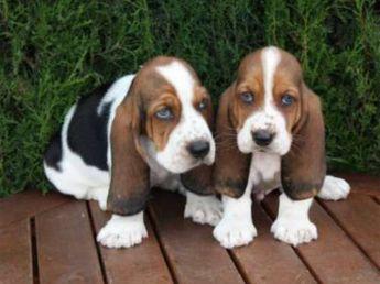 Artesian Norman Basset dog breed description and characteristics