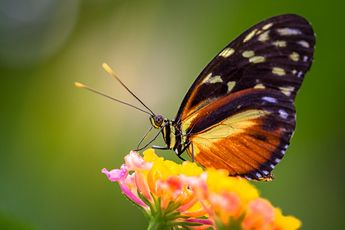 De  Hecale Longwing  vlinder van Ralf Linckens op canvas, behang en meer