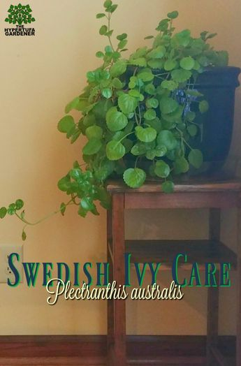 Swedish Ivy Care - An easy houseplant to grow.