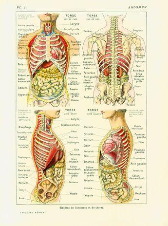 1912 Anatomy Human Body Internal Organs Intestine Liver Kidnet Guts Encyclopedia Larousse medical French Vintage