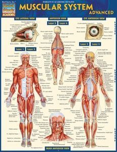 Muscular System Laminated Pocket Study Guide (9781572227606)