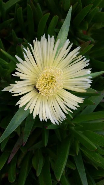 3x Carpobrotus edulis , PIG FACE CREAM Big Flowers Beautiful Hardy