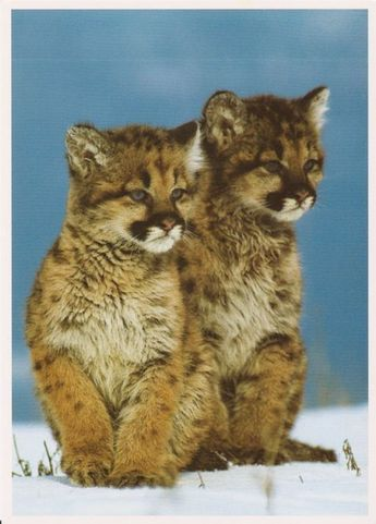 Kittens! #feline #puma #feline