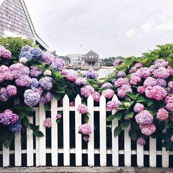 It's #FollowFriday @amy_stone  #Nantucket and #hydrangeas lovely!
