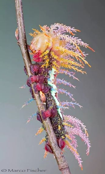 This is the caterpillar of the Saturniidae Moth from Switzerland. Photo by Marco Fischer