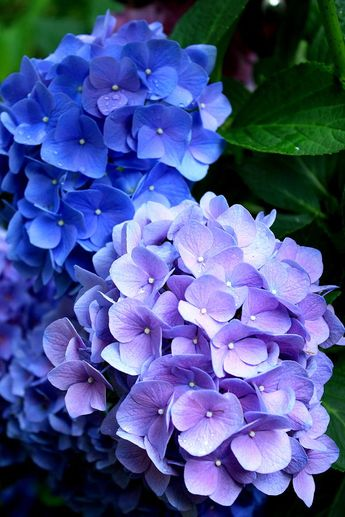 """I LOVE hydrangeas.  They are not likely to """"match"""" a paisley pattern (in my non-artist mind)."""