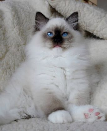 Some Top Unusual Cat Breeds on Earth Ragdoll Cat. Looks like Andre