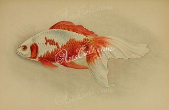 fishes-00538 - Doree [2281x1340]