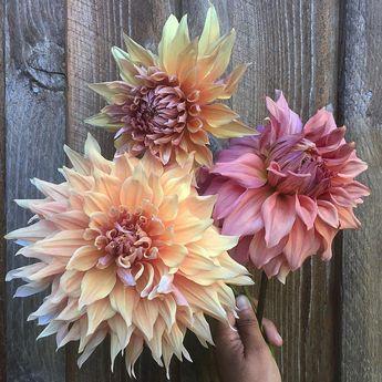 'Sherwood's Peach' and 'Hamari Gold' #dahlias early morning ✂️ before the 🔥of the day. #flowerfarmer #floretbulbs