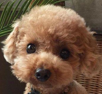 sweet, cute, adorable Poodle <3<3<3<3<3<3<3 #purebredpoodles