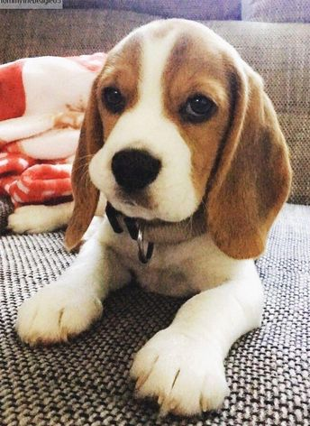 The beagle is a breed of small hound initially reproduced as scent hounds to help hunters. They are well-known (and liked) for their soft brown eyes and huge ears similar to that of the basset hound's.