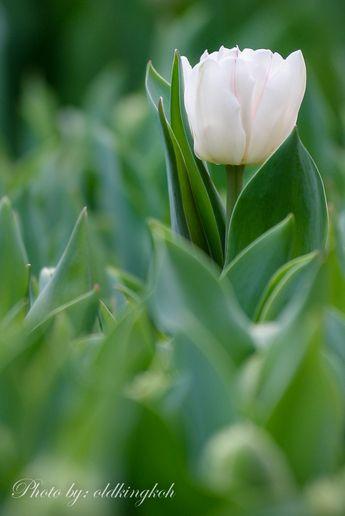 #tulipsmania #tulip #white #green #flora #flowerdome #gardenbythebay