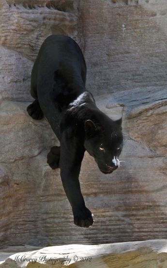 Descending Black Jaguar