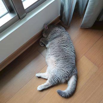 #instagood#instalike#like4like#dailypic#dailylife#picoftheday#Taiwan#cat#catlife#catcafe#neko#neko#貓#britishshorthair#instacat#catofday#kitten#misha#ブリティッシュショートヘア#ニャン#ねこ#ねこ部#日常#台灣