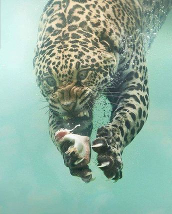 A leopard fishing is possibly one of the most terrifying sights