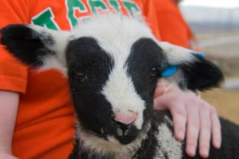Another adorable lamb reared by Dr. Nancy Irlbeck, associate dean of academic affairs in the CSU College of Agricultural Sciences.