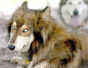 German Shepherd Irish Wolfhound Mix 💕
