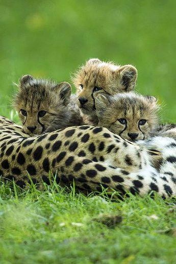 Cute cheetah cubs. #cats #animals