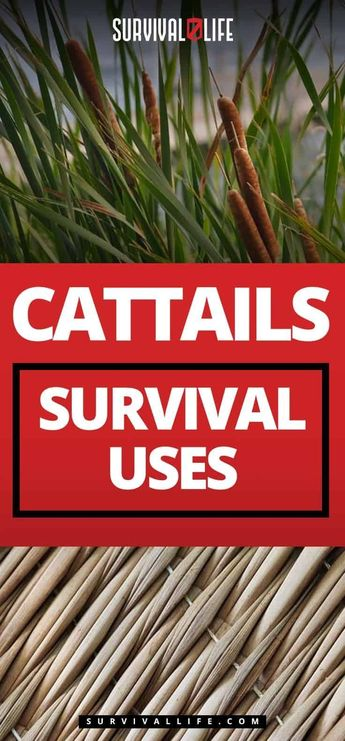 Cattails Survival Uses