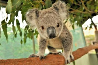 "Eucalyptus camaldulensis ""river red gum"" 10 SEEDS NATIVE TREE Koala food"