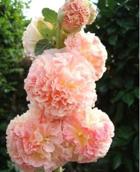 Hollyhock Chater's Double Salmon seeds - Althea rosea fl. pl. - 50 seeds