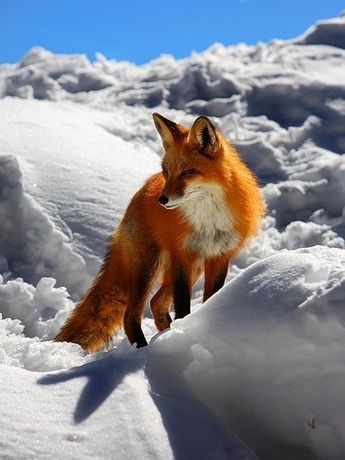 Fire and Ice' Amazing pic of a red fox in the snow!