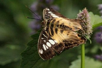 Brown Clipper Butterfly by Rosanne Jordan