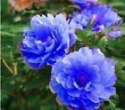 20 Blue Peony Seeds Peony Seed Paeonia suffruticosa Garden Flowers P3 #plants #seeds