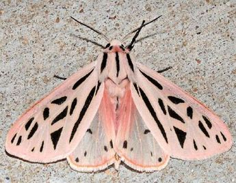 Moth Photographers Group – Apantesis arge – 8199